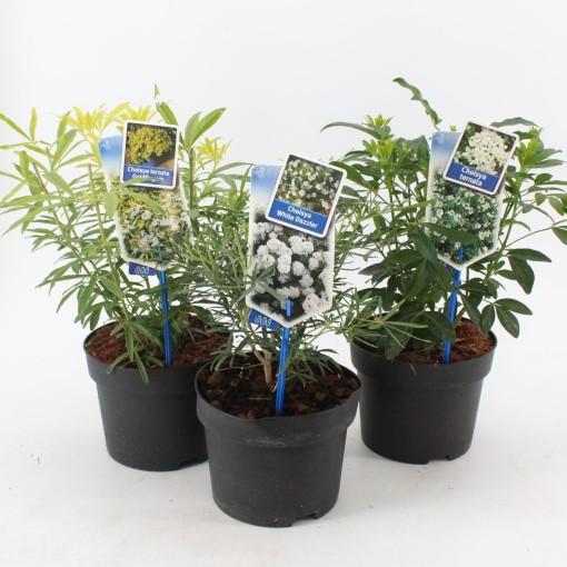 Choisya MIX (About Plants Zundert BV)