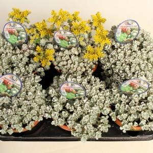 Sedum spathulifolium 'Cape Blanco' (Gasa DK)