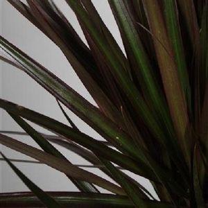 Dracaena marginata 'Magenta' (JoGrow B.V.)