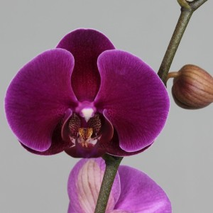 Phalaenopsis RIO GRANDE (Leerdam Orchideeën)