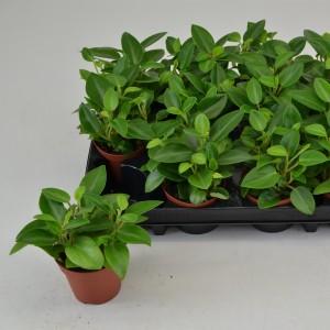 Peperomia 'Pixie' (Schoenmakers Tropische Potcultures)