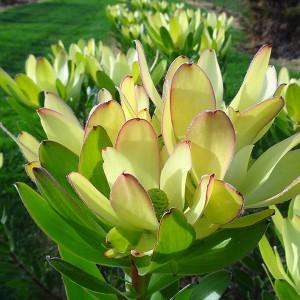 Leucadendron laureolum 'Golden Tulip'
