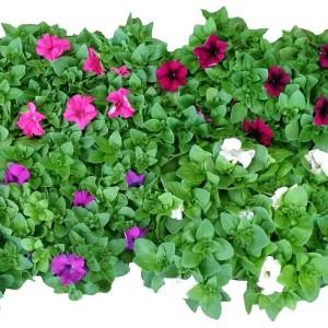 Petunia MIX (JK Plant)