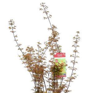 Acer palmatum 'Redwine' (Son & Koot BV)
