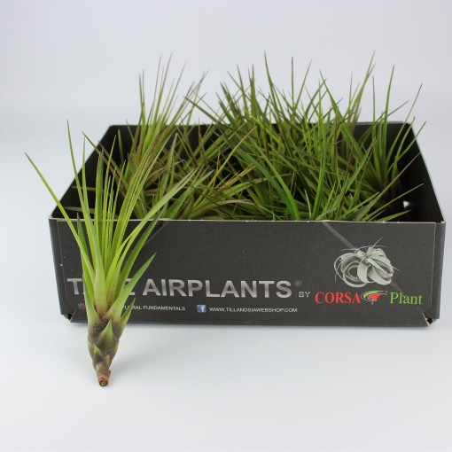 Tillandsia tricolor melanocrater (Corsa plant)