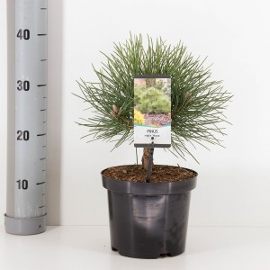 Pinus nigra 'Nana' (Bremmer Boomkwekerijen)