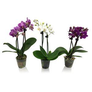 Phalaenopsis MIX (Cympha Orchideeën BV)