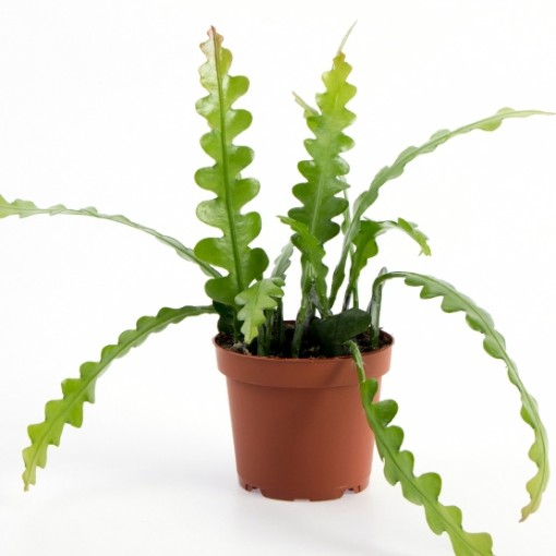 Epiphyllum anguliger (Gasa DK)