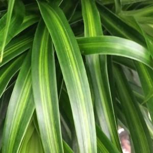 Dracaena reflexa 'Anita Variegata' (Vireõ Plant Sales)