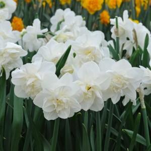Narcissus 'Androcles' (Komen, Kwekerij MJ)