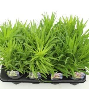 Liatris spicata MIX (Kwekerij de Noordpoel)