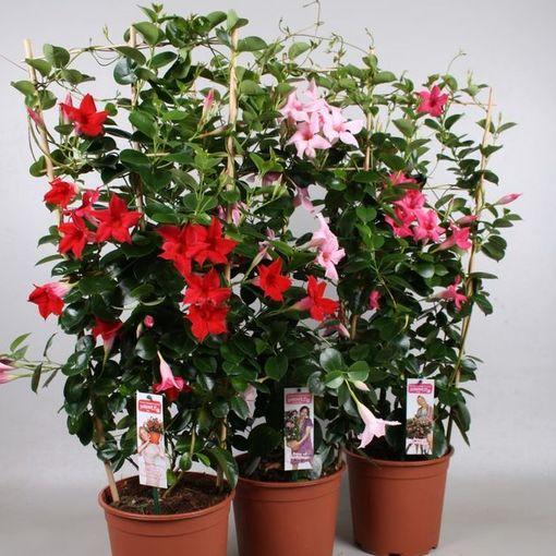Mandevilla MIX (Vireõ Plant Sales)