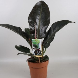 Philodendron 'Imperial Red' (Vireõ Plant Sales)