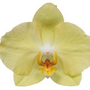 Phalaenopsis ANTHURA FERRARA (Ter Laak Orchids Midiflora)