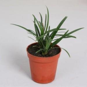 Ophiopogon japonicus 'Minor'