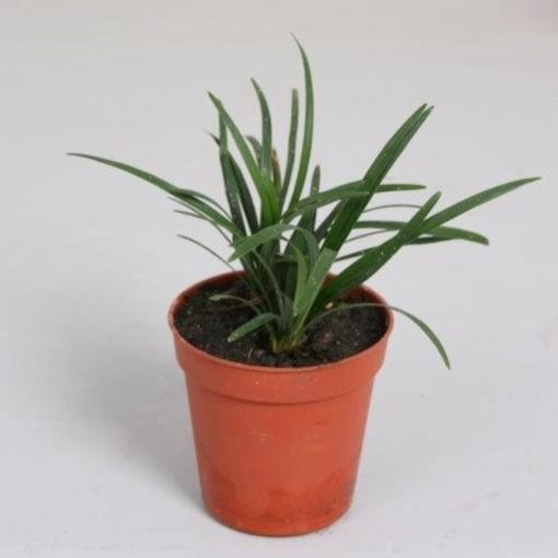 Ophiopogon japonicus 'Minor' (Handelskwekerij van der Velden)