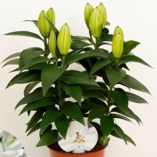 Lilium 'Sunny Okinawa' (Wetering Potlilium)