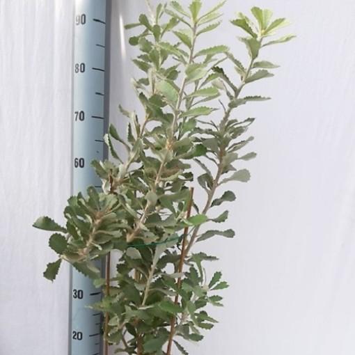 Banksia coccinea (Flora Toscana)