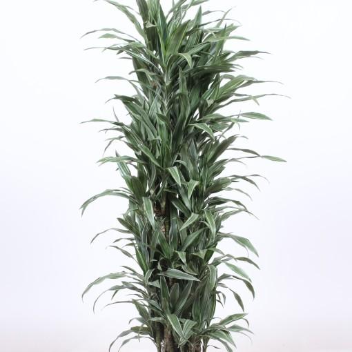 Dracaena fragrans 'Warneckei' (Fachjan)