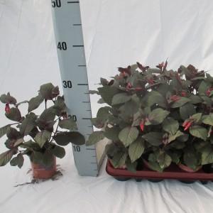 Fuchsia 'Coralle'