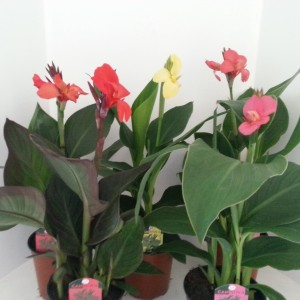 Canna MIX (Meeslouwer)