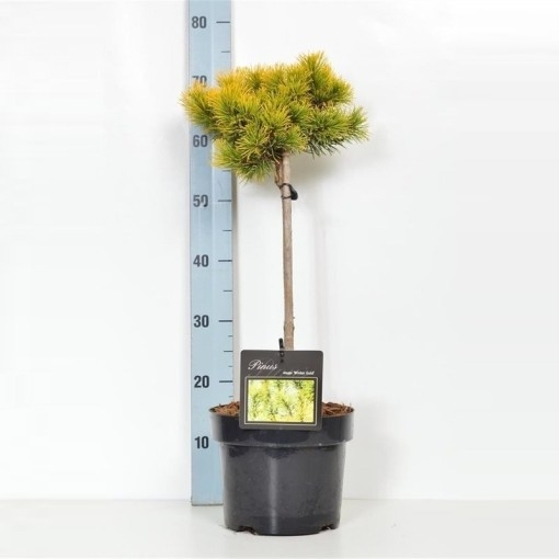 Pinus mugo 'Carsten' (Boomkamp Boomkwekerijen B.V.)