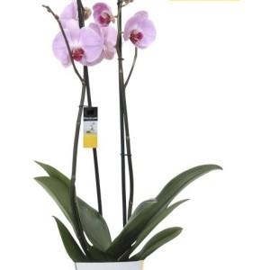 Phalaenopsis ANTHURA SACRAMENTO (Ter Laak Orchids Midiflora)