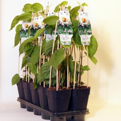 Actinidia kolomikta 'Annikki' (BOGREEN Outdoor Plants)