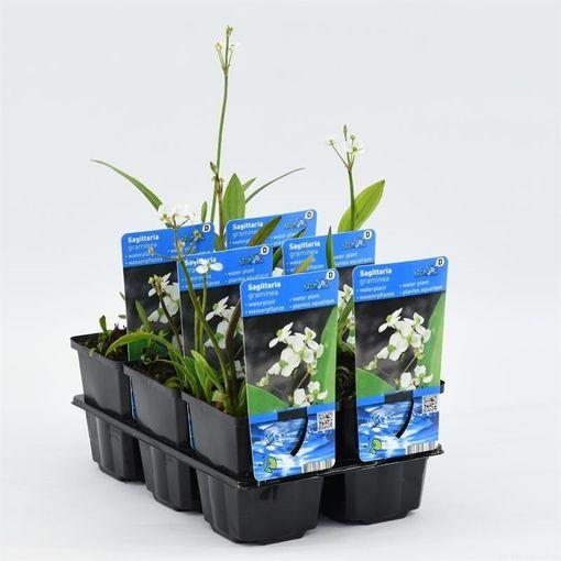 Sagittaria graminea (Moerings Waterplanten)