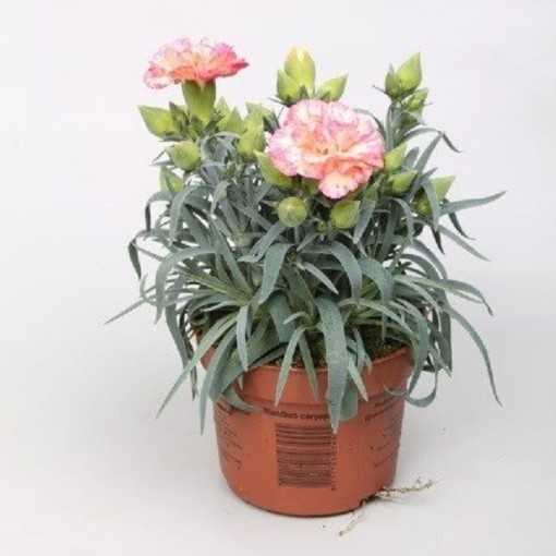Dianthus FLOW BONDI BEACH (Rodon Rolff B.V.)