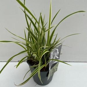 Carex morrowii VANILLA ICE