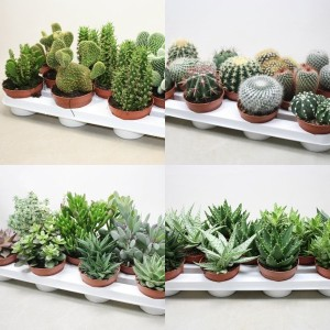 FA Cacti-Succulents SELECTION #169
