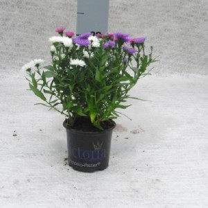 Aster VICTORIA MIX IN POT