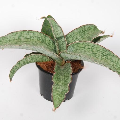 Sansevieria kirkii 'Silver Blue' (Van der Arend Tropical Plantcenter)