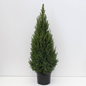 Picea glauca PERFECTA