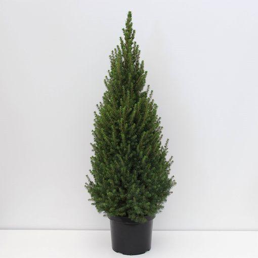 Picea glauca PERFECTA (Bremmer Boomkwekerijen)