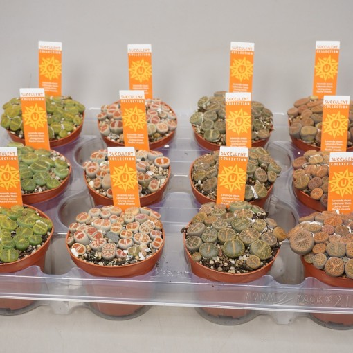Lithops MIX (Ubink)