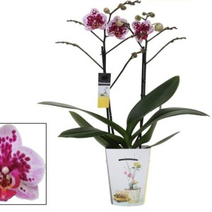 Phalaenopsis REMBRANDT CX322 (Ter Laak Orchids)