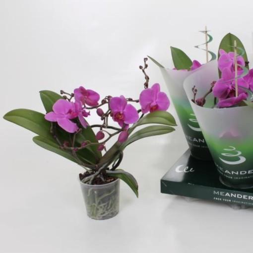 Phalaenopsis ANTHURA PASADENA (Ter Laak Orchids Midiflora)