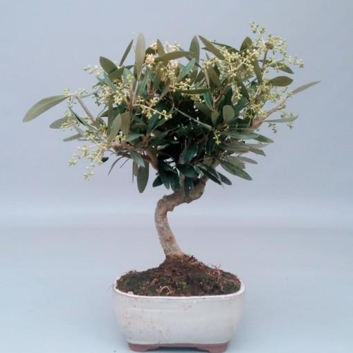 Olea europaea (Trendy Bonsai BV)