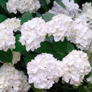 Hydrangea macrophylla 'Madame Emile Mouillère' (About Plants Zundert BV)