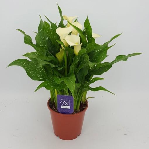 Zantedeschia 'WhiteFlirt' (BB Plant)