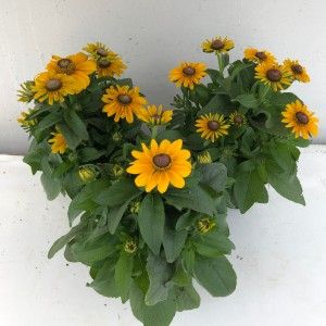 Rudbeckia hirta 'Toto' (Experts in Green)