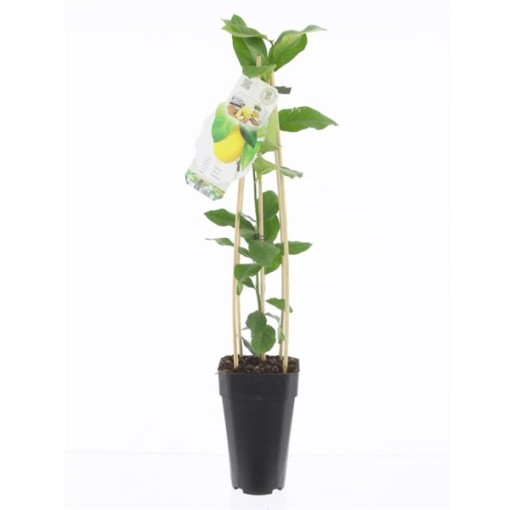 Citrus limon 'Toscana' (BOGREEN Outdoor Plants)