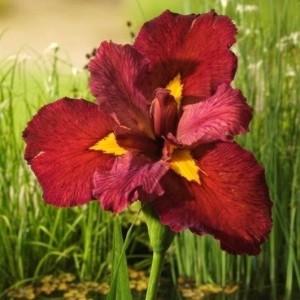 Iris 'Ann Chowning' (Moerings Waterplanten)