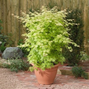 Acer palmatum 'Orange Dream' (Son & Koot BV)