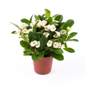 Euphorbia 'Hektor'
