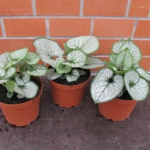 Brunnera macrophylla 'Jack Frost' (Gasa DK)