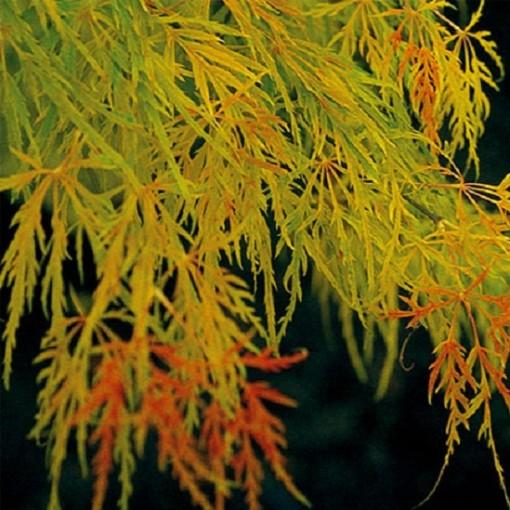 Acer palmatum 'Dissectum' (Stervinou)