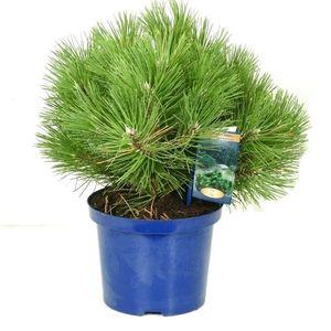 Pinus nigra 'Nana'